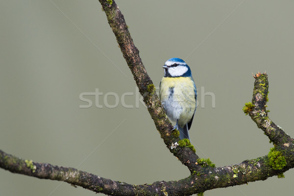 Eurasian Blue Tit Stock photo © ivonnewierink