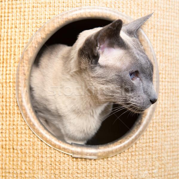 Kék pont sziámi macska felnőtt mászik pólus Stock fotó © ivonnewierink