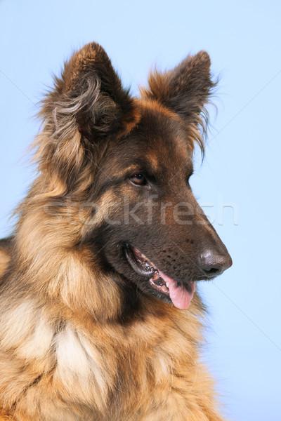 Juhász kutya kék haj állat ül Stock fotó © ivonnewierink