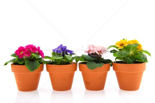 Primroses in earthenware flower pots Stock photo © ivonnewierink