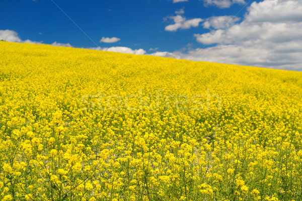 Field with rapeseed against blue sky Stock photo © ivonnewierink