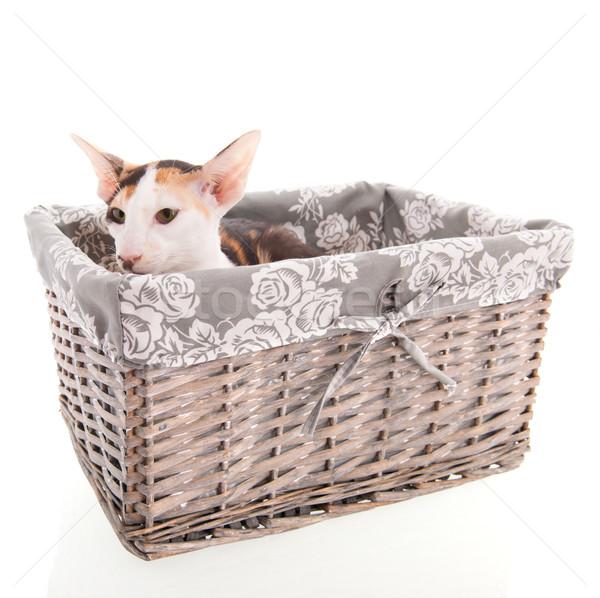 オリエンタル ショートヘア 猫 バスケット 孤立した 白 ストックフォト © ivonnewierink