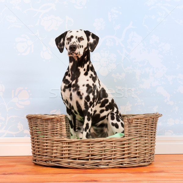Dalmatian dog sitting in basket Stock photo © ivonnewierink
