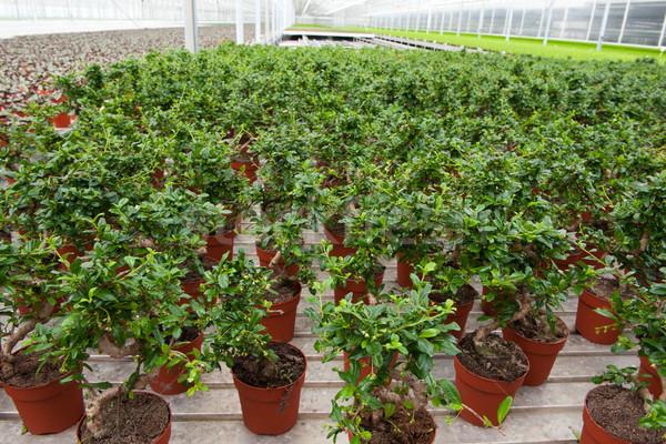 Bonsai trees in greenhouse Stock photo © ivonnewierink