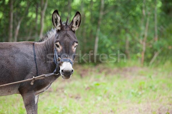 Donkey Stock photo © ivonnewierink