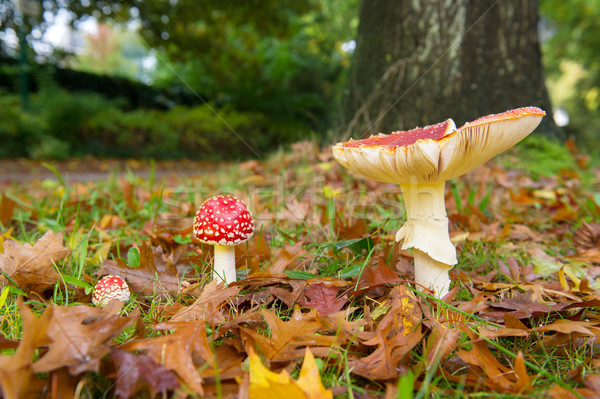 Fly agaric Stock photo © ivonnewierink