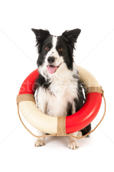 Border collie resgatar cão isolado branco ajudar Foto stock © ivonnewierink