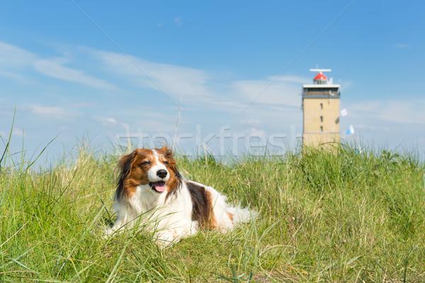 Dog in the dunes Stock photo © ivonnewierink