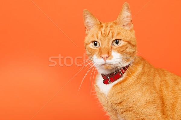 Red tomcat on orange background Stock photo © ivonnewierink