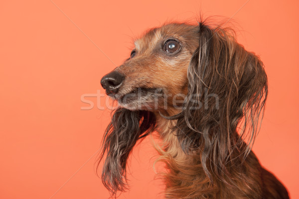 Dachshund on orange background Stock photo © ivonnewierink