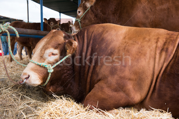 French Limousin bulls Stock photo © ivonnewierink