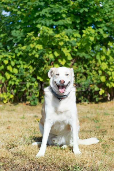 Blond husky redding hond race outdoor Stockfoto © ivonnewierink