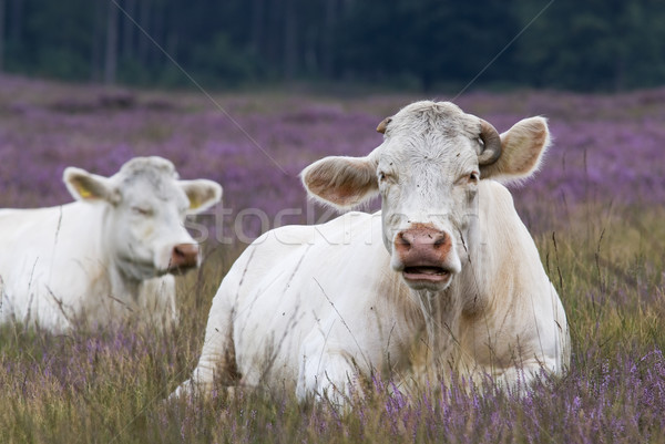 resting cow in heather Stock photo © ivonnewierink