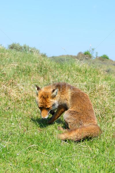 Vermelho raposa natureza paisagem animal holandês Foto stock © ivonnewierink