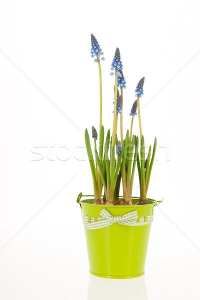 Blue Grape hyacinths Stock photo © ivonnewierink