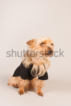 Yorkshire terrier beige retrato funny animales Foto stock © ivonnewierink