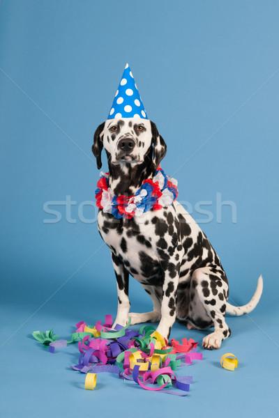 Zdjęcia stock: Dalmatyński · psa · urodziny · zwierząt · niebieski · portret