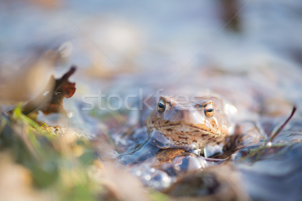 Common toad in water Stock photo © ivonnewierink