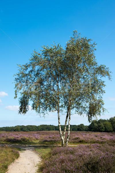 Nyírfa fa tájkép virágzó növények út Stock fotó © ivonnewierink