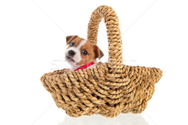 Six weeks old Jack Russel in basket Stock photo © ivonnewierink
