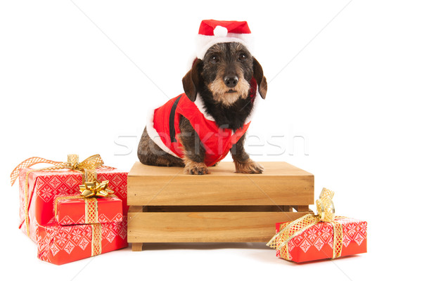 Wire haired dachshund with Christmas suit on wooden crate Stock photo © ivonnewierink