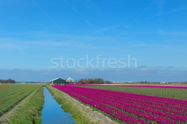 Holandês paisagem vermelho tulipas holandês roxo Foto stock © ivonnewierink