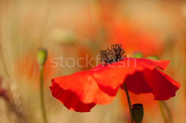 Stockfoto: Rood · klaprozen · graan · velden · bloemen · landbouw