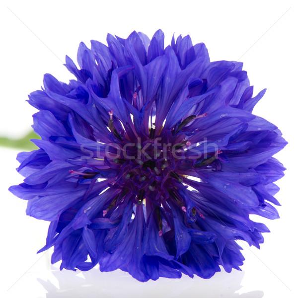 Stock photo: Blue Cornflower