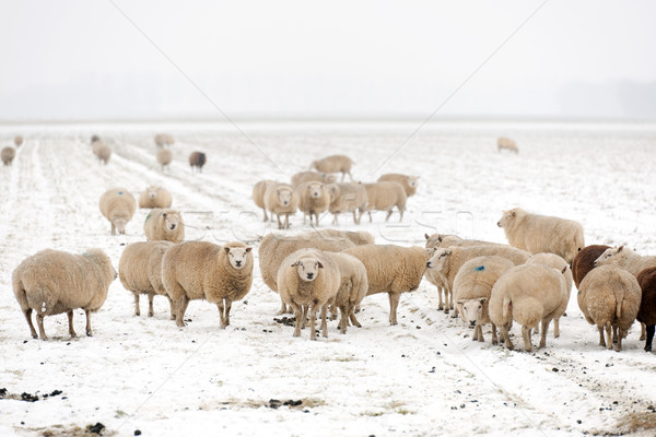 Flock of sheep in the snow Stock photo © ivonnewierink