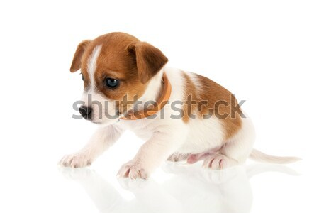 Six weeks old Jack Russel Stock photo © ivonnewierink