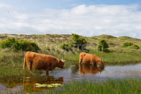 Highland cattle drinking water Stock photo © ivonnewierink