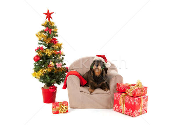 Dachshund sitting on chair with Christmas tree Stock photo © ivonnewierink