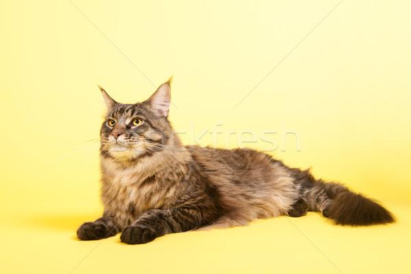 Maine coon cat on pastel yellow Stock photo © ivonnewierink