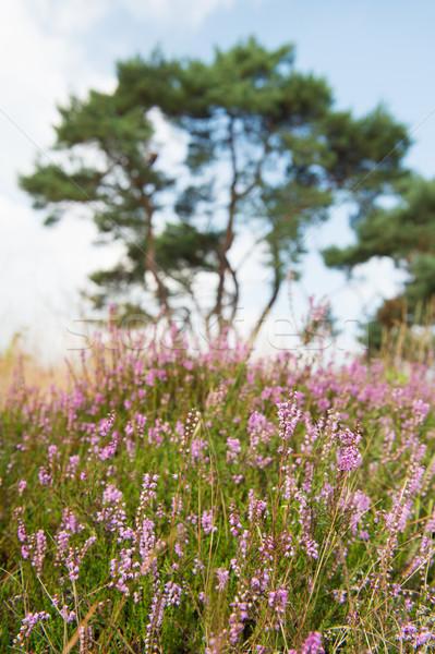 macro heather flowers Stock photo © ivonnewierink