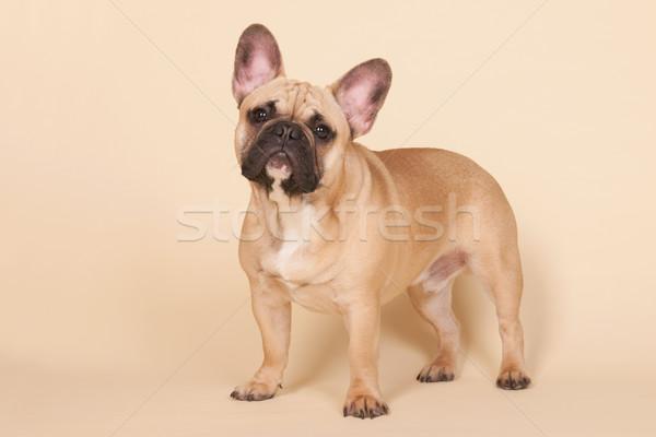 Stockfoto: Frans · bulldog · permanente · studio · beige · portret