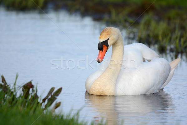 Mute swan swimming in ditch Stock photo © ivonnewierink