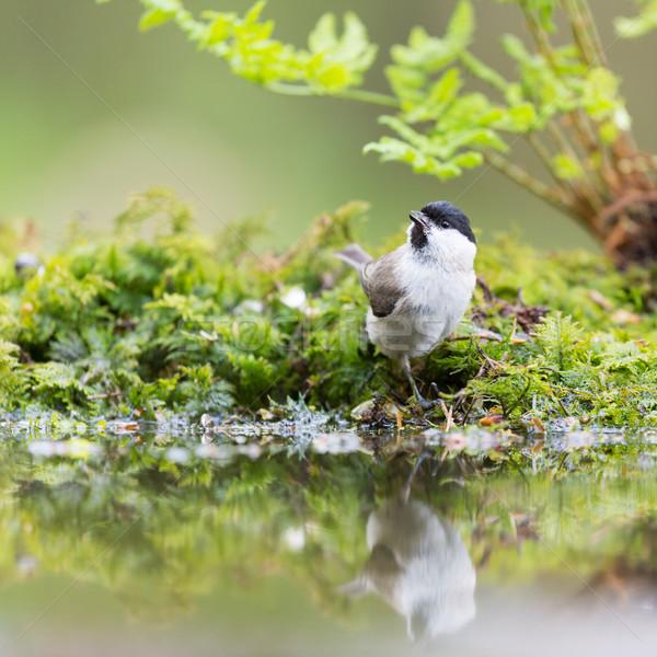 Marsh tit in tree Stock photo © ivonnewierink