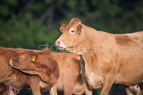 Cow from French Limousin Stock photo © ivonnewierink