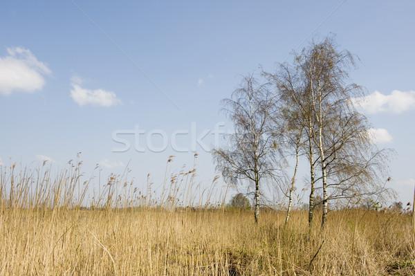 Birches in landscape Stock photo © ivonnewierink