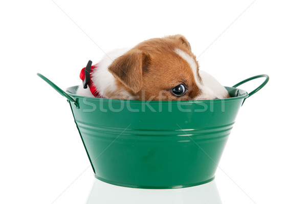 Six weeks old Jack Russel in green bucket Stock photo © ivonnewierink