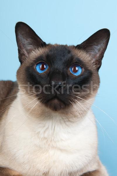 Сток-фото: сиамские · кошки · печать · точки · фон · синий