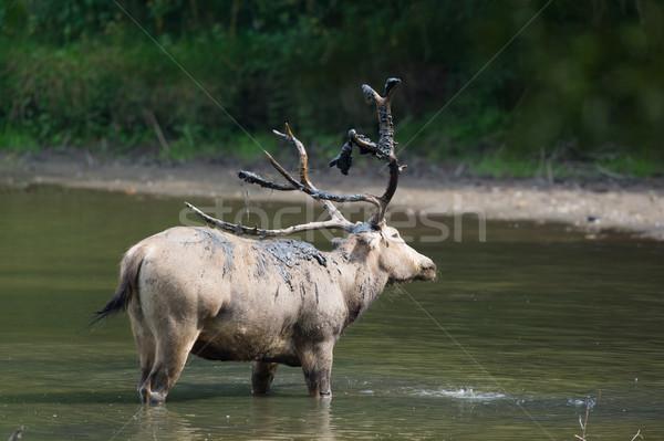 Férfi sár víz szarvas dob természet Stock fotó © ivonnewierink