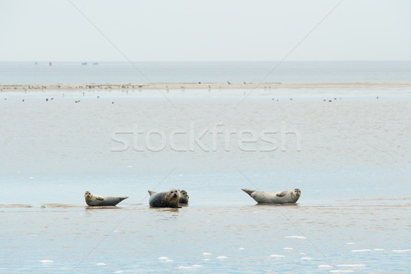 Seal laying in Dutch wadden sea Stock photo © ivonnewierink