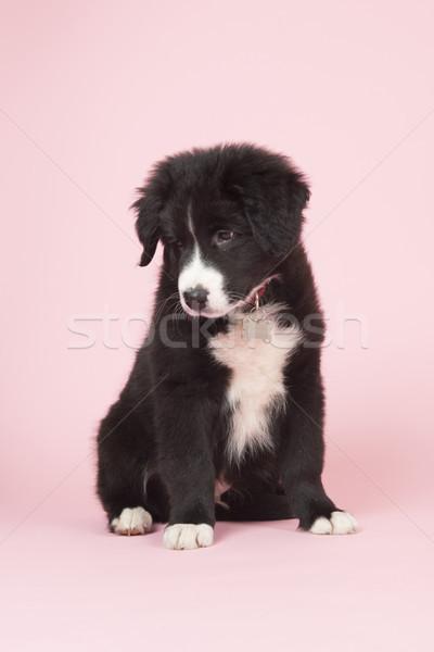 Border collie cucciolo rosa cute baby cane Foto d'archivio © ivonnewierink