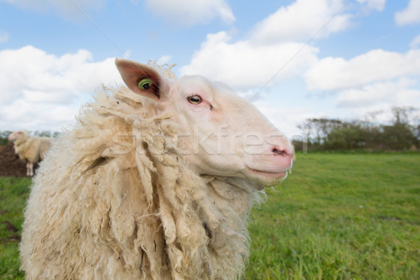 Sheep at Dutch wadden island Terschelling Stock photo © ivonnewierink