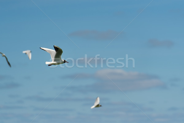 Black-headed gull flying in the air Stock photo © ivonnewierink