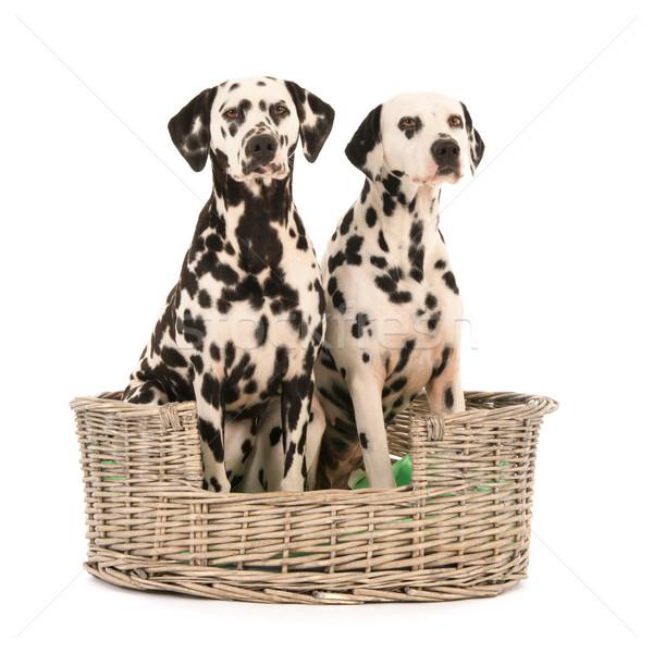Dalmatian dogs in wicker basket Stock photo © ivonnewierink