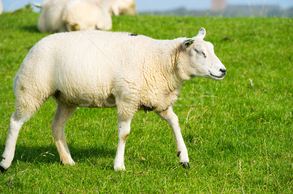 Young white sheep Stock photo © ivonnewierink