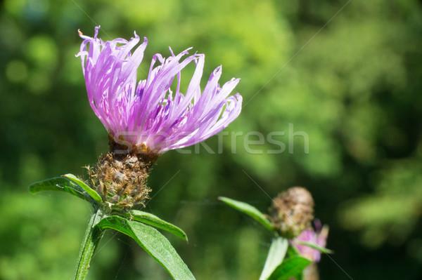 Purple thistle flower Stock photo © ivonnewierink