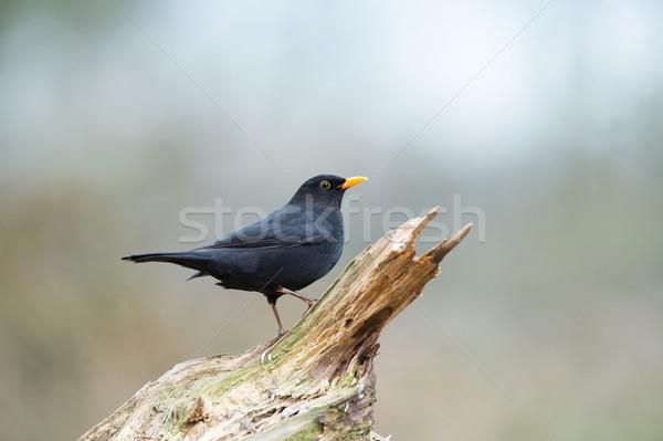 Mirlo naturaleza forestales Foto stock © ivonnewierink